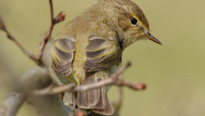 Chiff chaff sits on a branch
