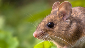 A wood mouse close up